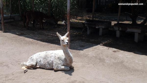 Llama peruana